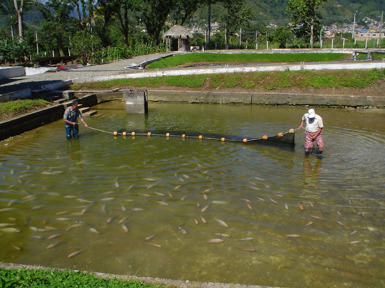 Impulsan la producci n sostenible de truchas en bolivia for Cria de mojarra en estanques